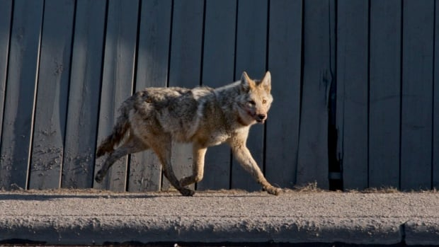 Coyote attacks stoke fear in Riverside South