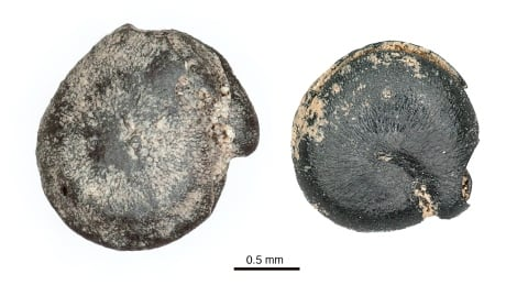 3,000-year-old quinoa found in Brantford sheds light on past trading
