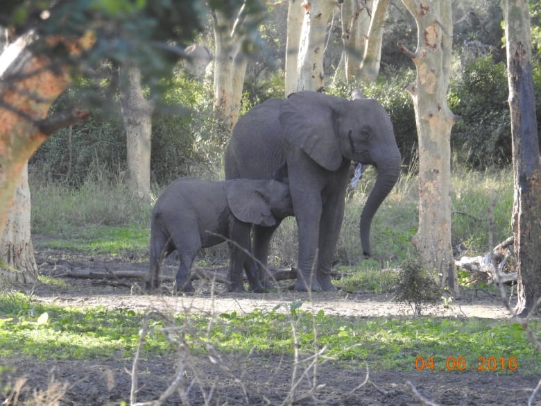 5fc9918b5 Human-influenced natural selection has resulted in many elephants being  born without tusks. (Ryan Long)