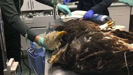 Mysterious poisoning of bald eagles on Vancouver Island worries advocates