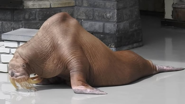 Zeus, the walrus, has died, Marineland says — 2nd walrus