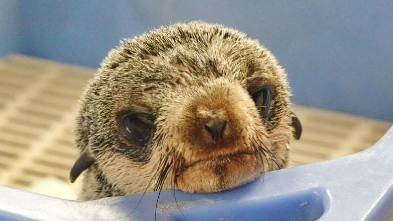 Mo the rescued fur seal released back into the wild