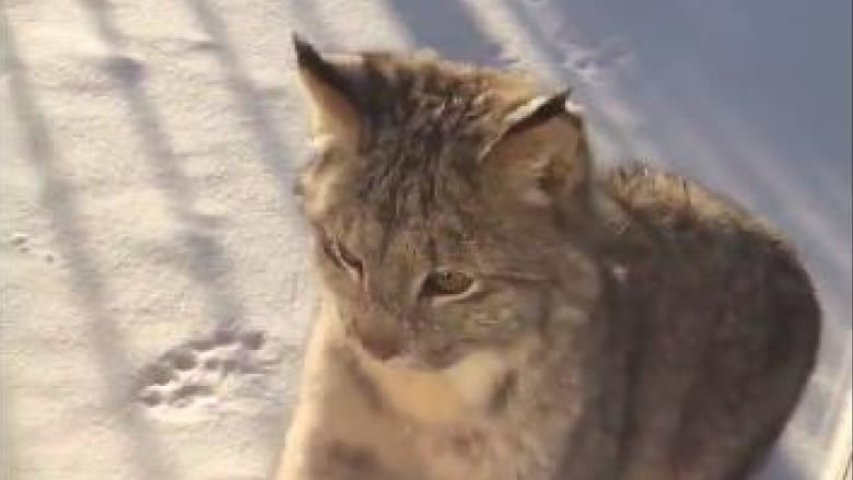 Yellowknife house cat faces down lynx through window pane