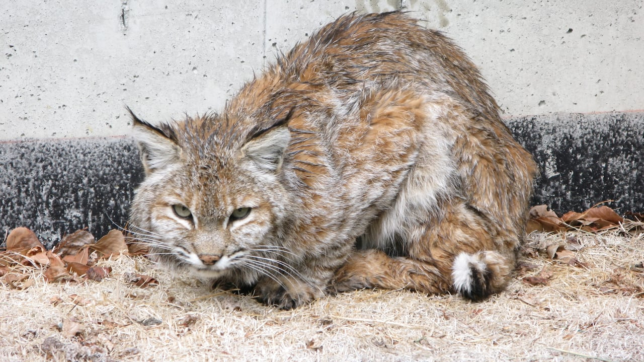 Bobcat or lynx? Not even the experts are certain   CBC News