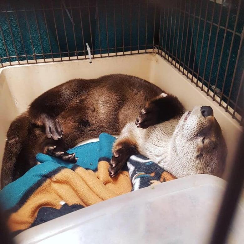 Otter found living under garbage bin in downtown Winnipeg | CBC News