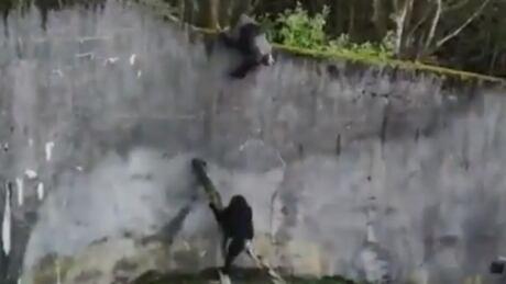 Chimpanzees escape Belfast Zoo