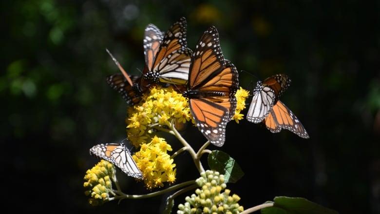 Monarch butterfly resurgence might not take flight, says Ottawa prof