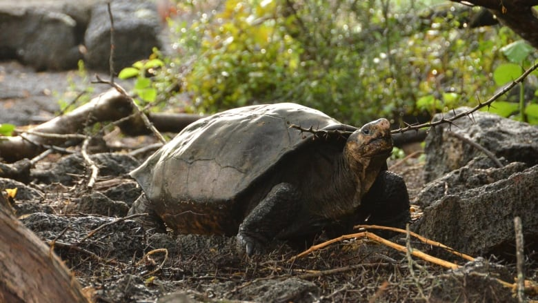 Tortoise thought to be extinct appears in Galapagos Islands