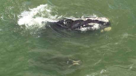 Baby boom among endangered right whales offers researchers some hope