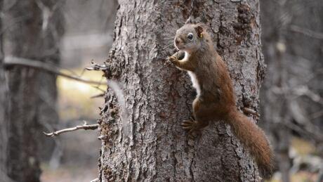 Kluane squirrel project