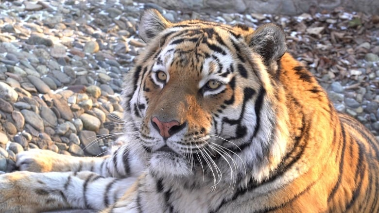 Russia's 'fairy tale' Siberian tigers beating long odds for