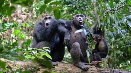 Chimpanzees cultural diversity is threatened by humans