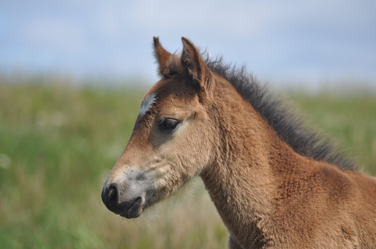 1 Man 1 Horse Video Link what is killing sable island's horses? | cbc news