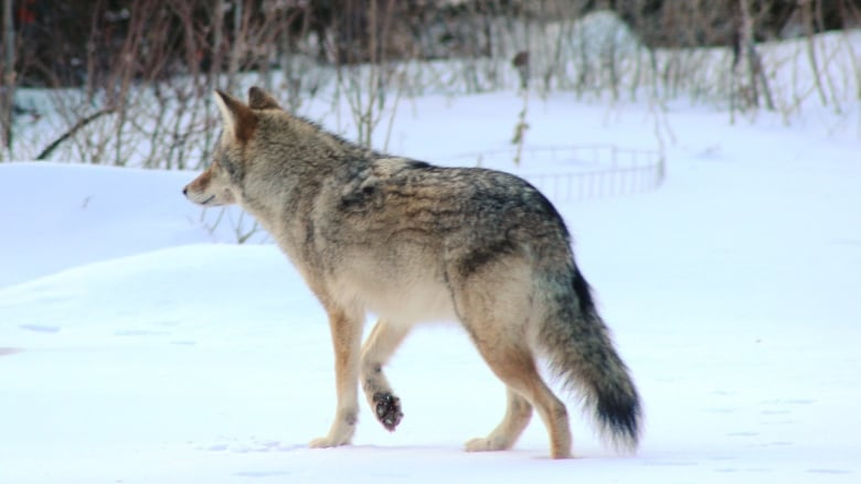 What to do if you meet a coyote? Wave a big stick and don't run away