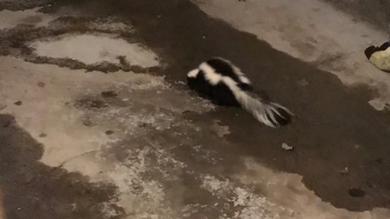 Squatter skunk proves tricky to evict from Prince George garage