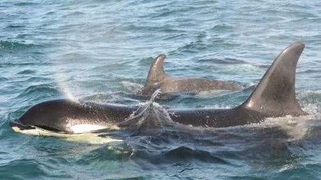 Storm Northern Resident Killer Whale calf