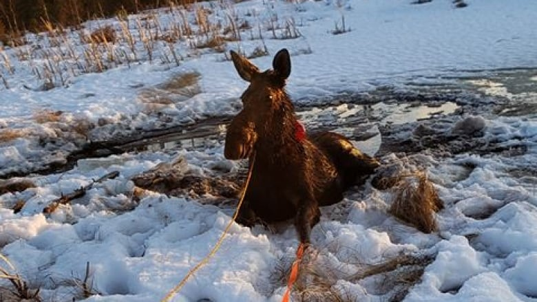 Ice fisher has 2nd thoughts about hunting after rescuing female moose from lake