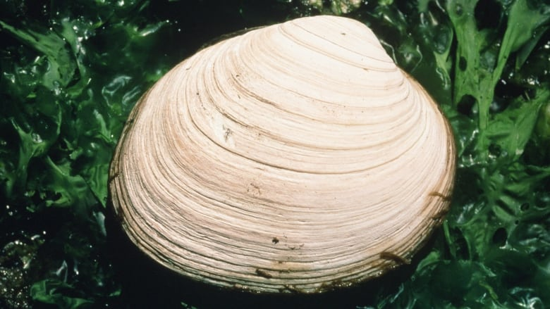 3 people stricken with paralytic shellfish poisoning after clamming off B.C.'s North Coast