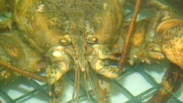 The long life and slow death of a large lobster named Lanny
