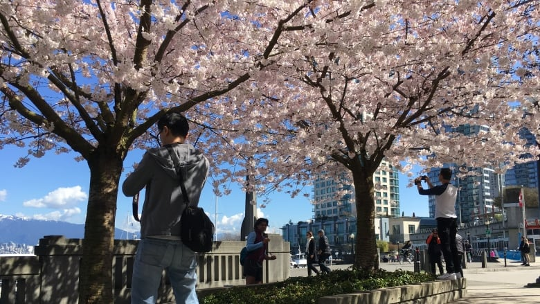 Cherry Trees Safe For Now As Vancouver Watches Effect Of Climate Change On Urban Forest Cbc News