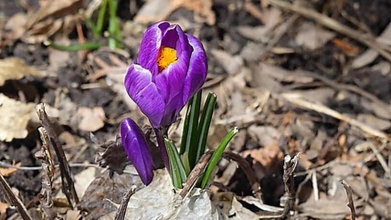 Crocus Weather And Then Some >> Wednesday Will Be A Great Day Cbc News