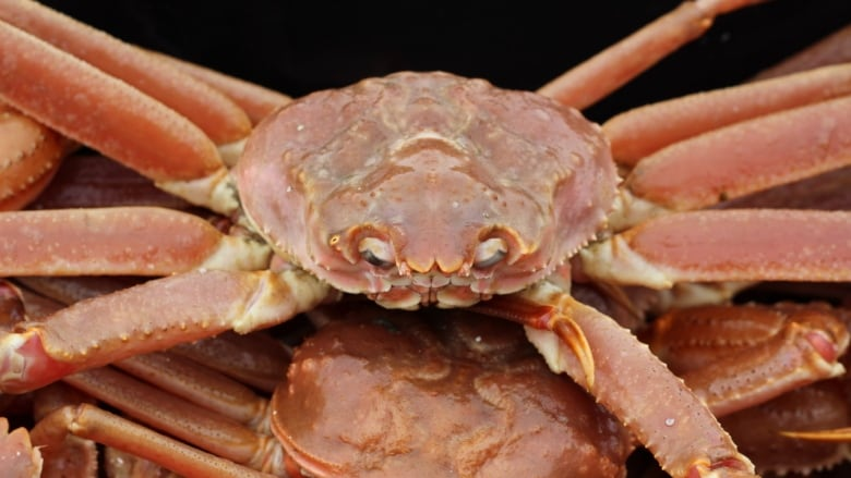 CBU researchers discover valuable uses for snow crab carcasses