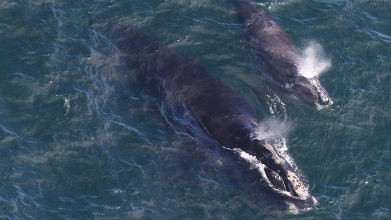 Endangered whale experiencing mini-baby increase off New England
