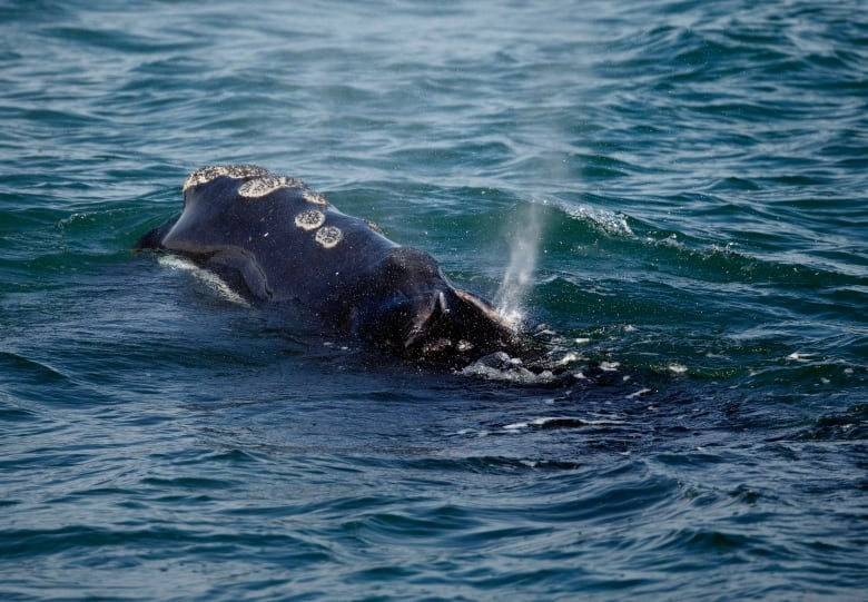 Endangered whale experiencing mini-baby boom in New England waters
