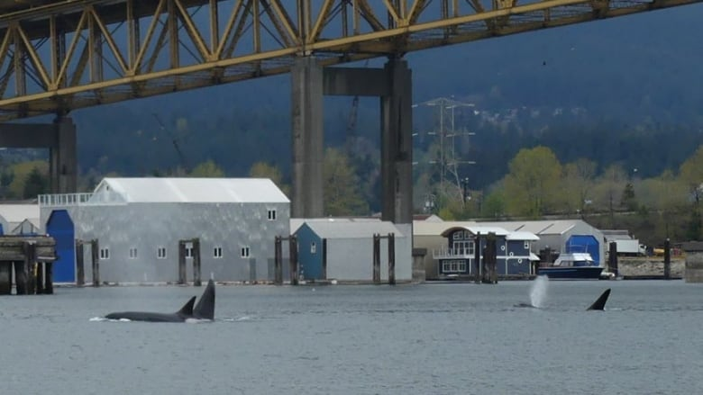 Mama orca and sons spotted in Vancouver harbour frequently in area hunting for seals