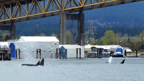 Killer whales pod Vancouve Harbour Ironworkers bridge