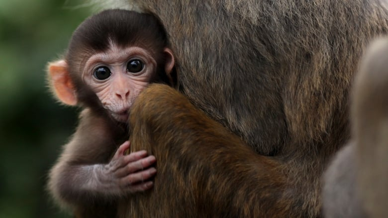 Scientists have put a human brain gene into monkeys. Have they crossed the line?