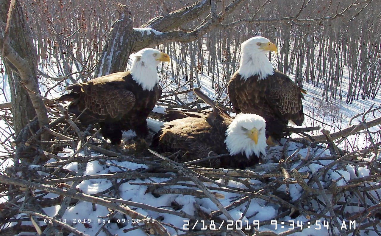 This Trio Of Eagles 1 Female And 2 Males Are Raising A Family Together Cbc Radio
