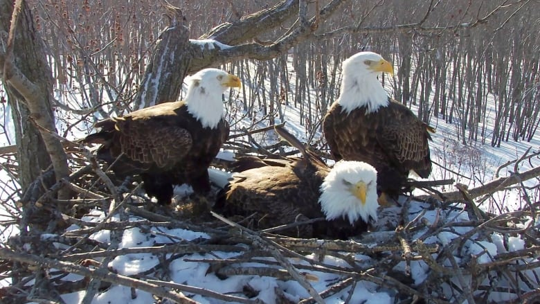 This trio of eagles — 1 female and 2 males — are raising a family together