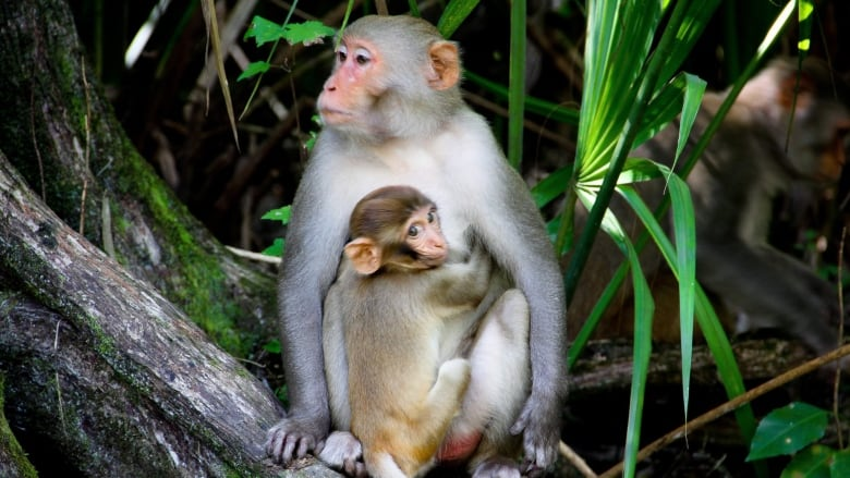 April 20, 2019 — Human brain genes in monkeys, urine archaeology, evolving human faces and more