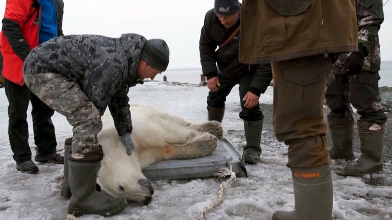Stray polar bear found roaming Russian village airlifted back to the wild