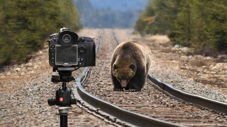 'The Boss' grizzly is ready for his closeup, as Alberta wildlife shakes off winter doldrums
