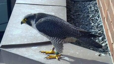 25 years of falcons: Hamilton Falconwatch celebrates milestone birthday