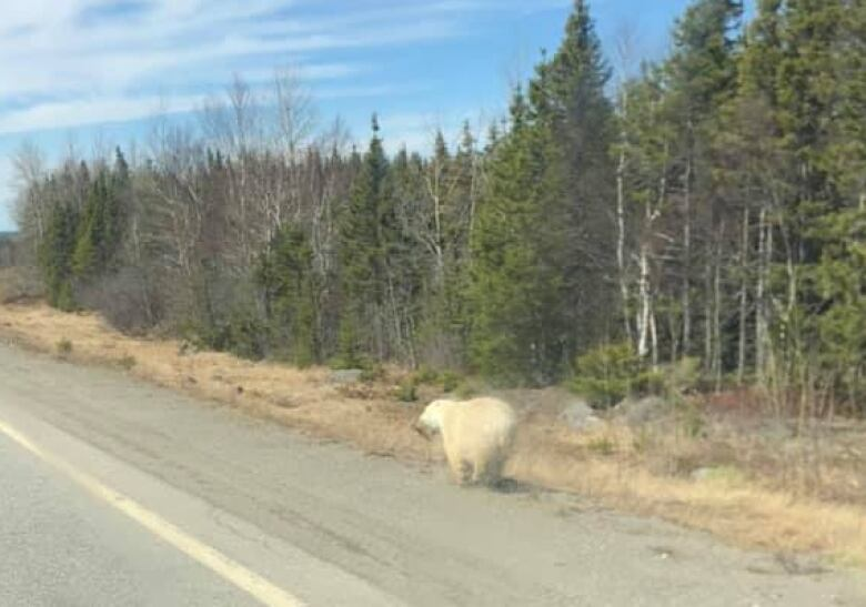 No photos! Put your phone down when a polar bear is nearby, N.L. wildlife enforcement says
