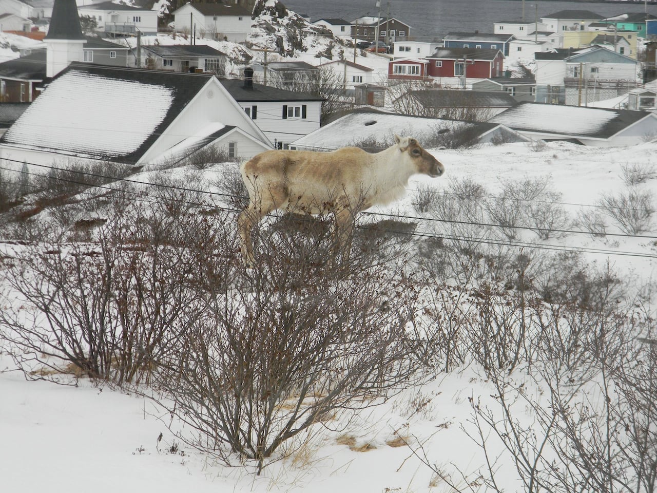 It's a life of leisure for Frankie, the lone caribou of Burgeo | CBC