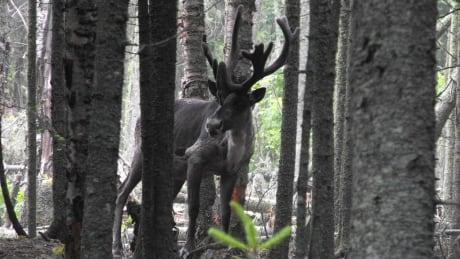 Slate Island caribou