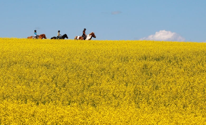 Ottawa boosts loans for canola farmers amid tensions with China