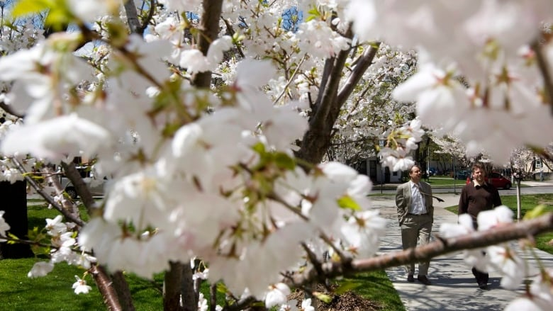 54a1b72a5310a 15 Toronto parks have blossoming cherry trees — here's where you can find  them