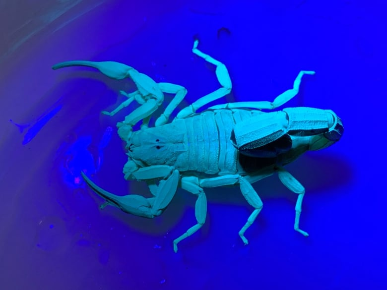 OK, it's alive': Vancouver woman finds scorpion on kitchen