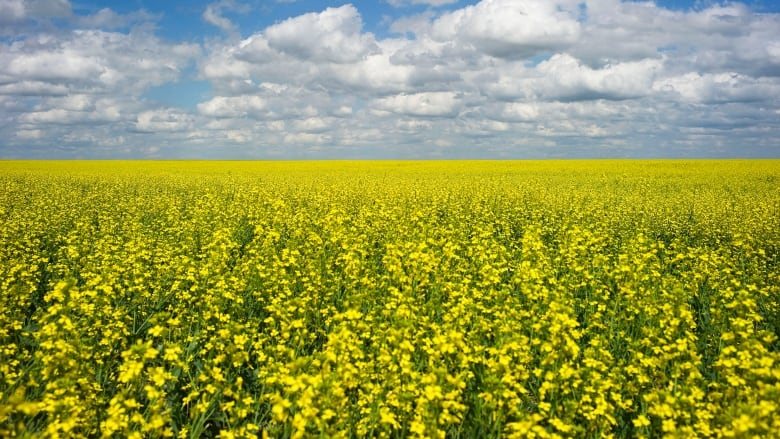 Alberta canola farmers replace China with drought-stricken European market