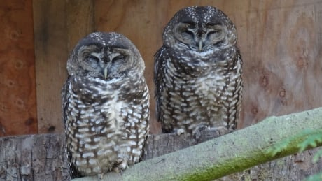 Spotted Owl Breeding 20190428