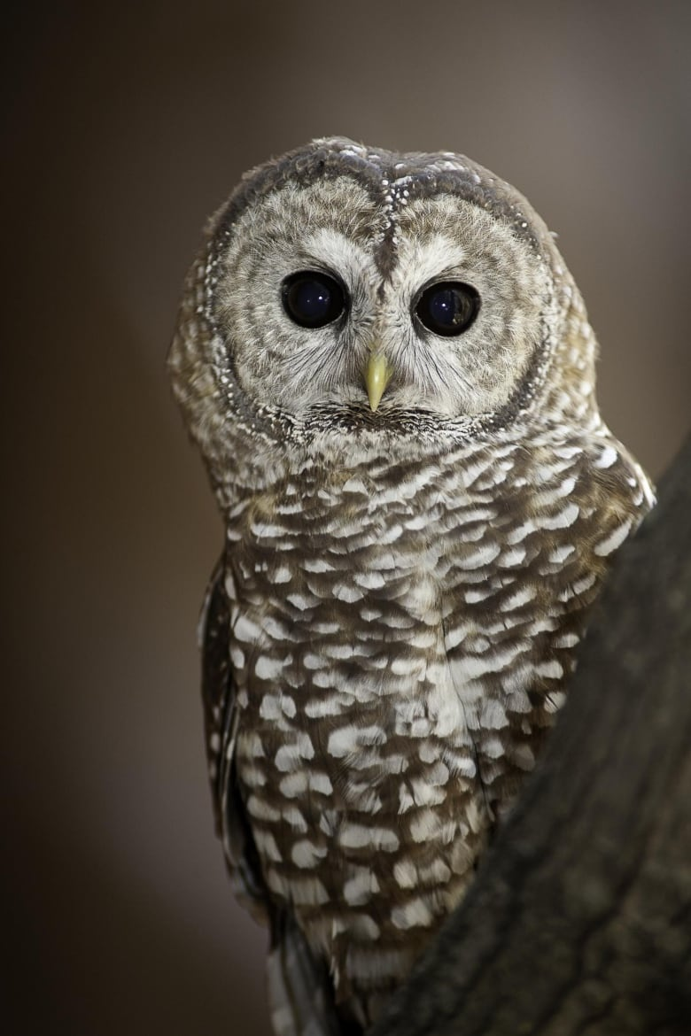 Feds urged to step in to Prevent logging in B.C. refuge of last breeding pair of spotted owls thumbnail