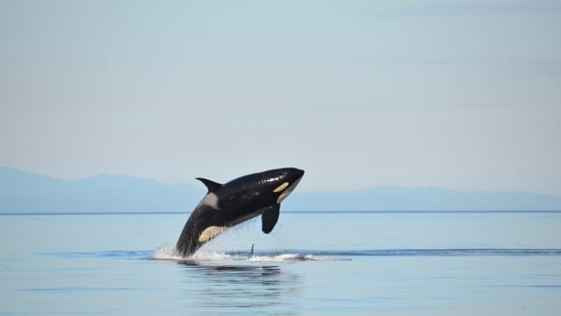 Virtual whale watching serves as pandemic stand-in for the real thing | CBC News