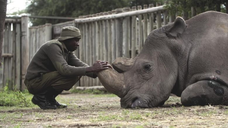 World's last male northern white rhino was 'ambassador of