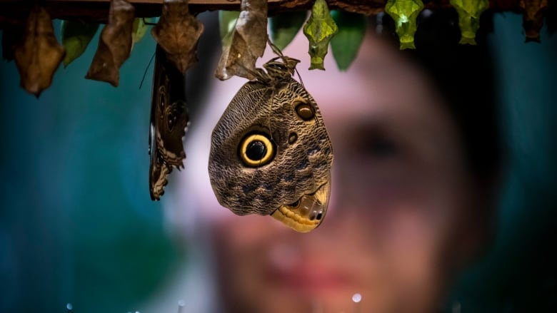 a3b02cf35 Andrea Cotter, assistant curator for the Amazon exhibit, examines a Giant  Owl butterfly during the opening of the new butterfly feature at the  Vancouver ...
