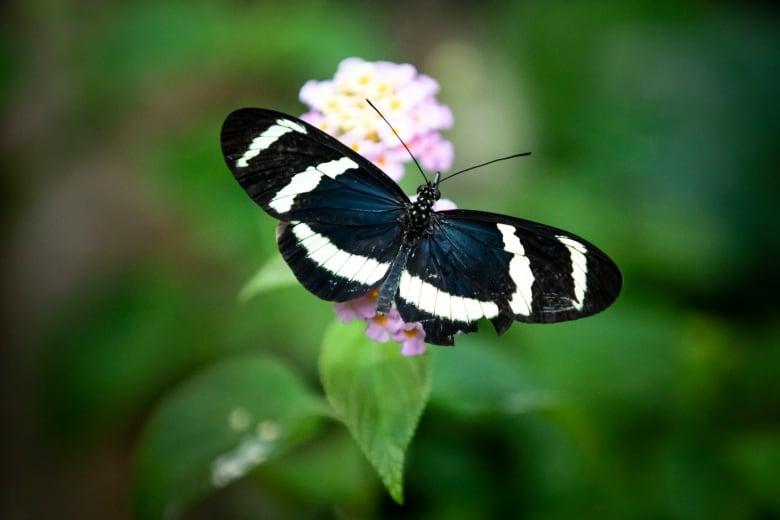 9ff3d99d5 A Inverse Longwing butterfly sits on a flower. (Ben Nelms/CBC)